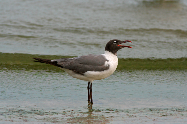 Laughing Gull. Sheboygan,WI