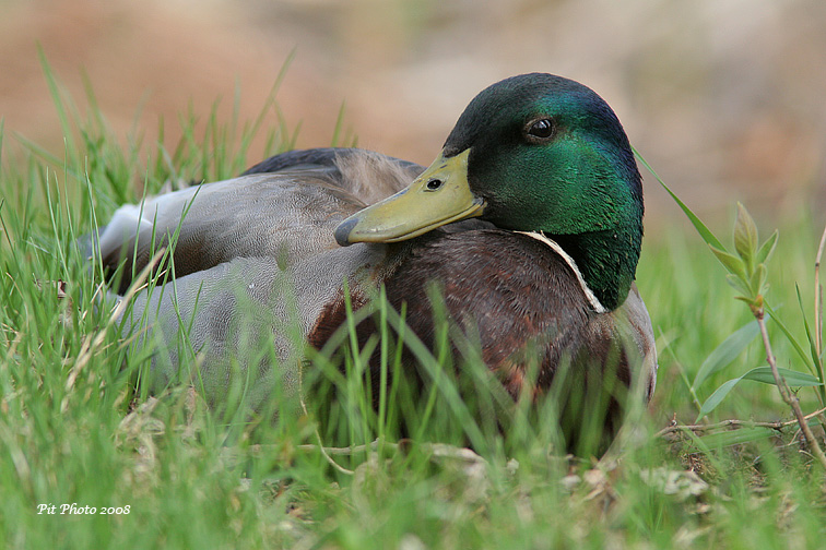 Canard colvert (mâle)