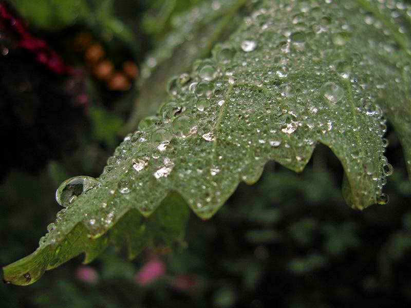 Raindrops on grape leaf<br />2460