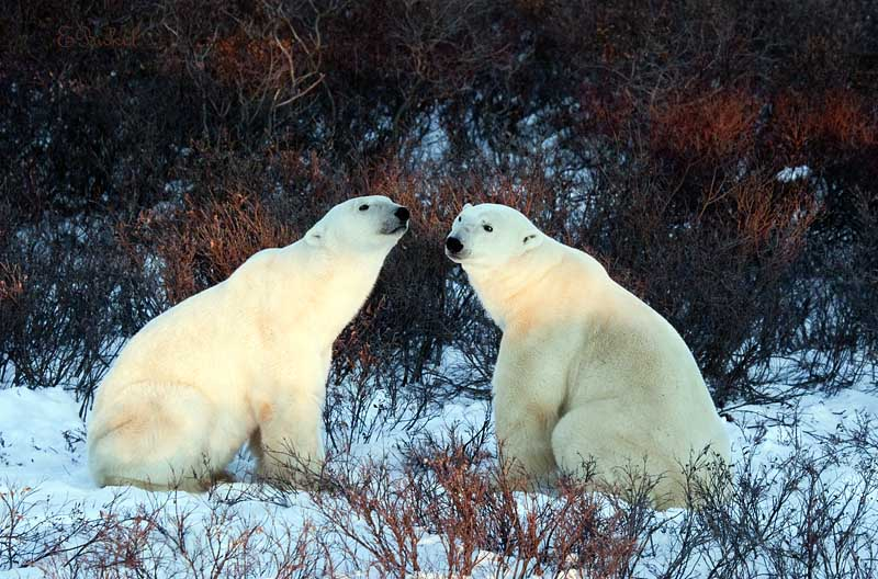 Polar Bear Buddies