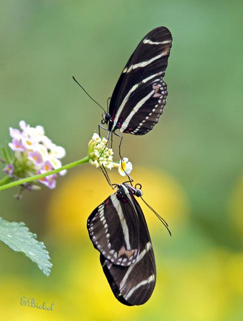 Double Butterflies