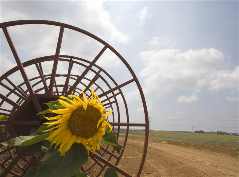 Sunflower  in  Qedma