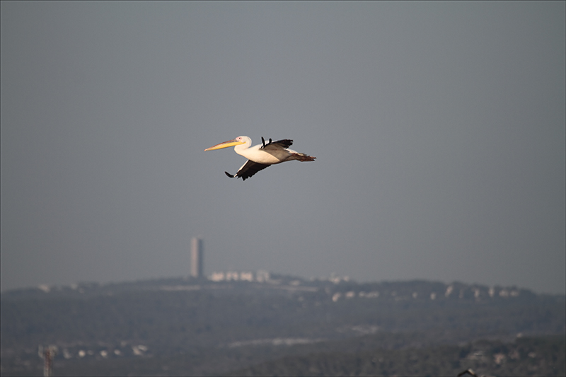 Lone Pelican with Haifa in the Background