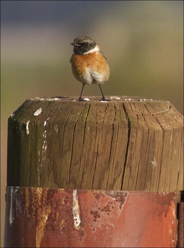 A Stonechat