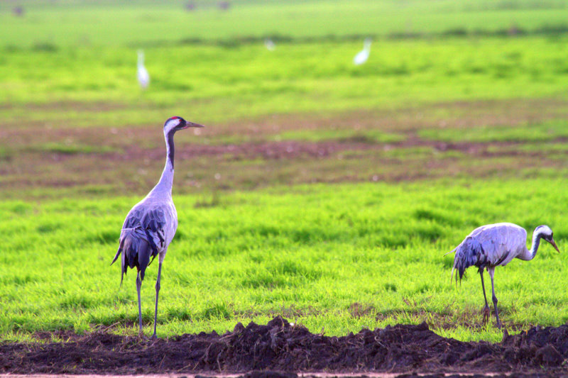 Two Grey Cranes Wintering in Hula Wetlands in Israel
