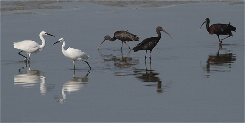 Herons and Glossy Ibis