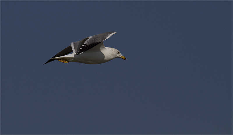 Seagull in Flight.jpg