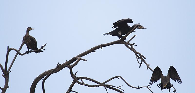 Cormorants Pecking Order