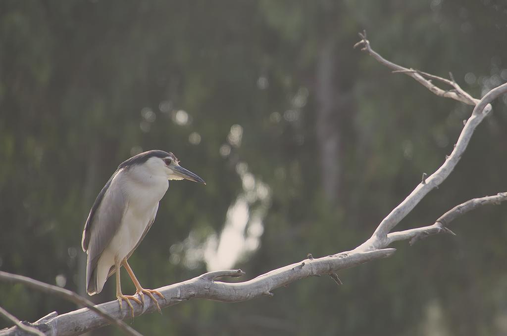 Night Heron along the River.jpg