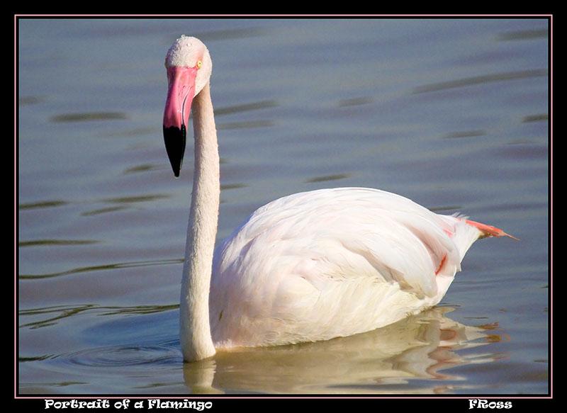 Portrait of a Flamingo.jpg