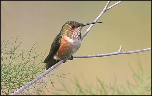 Allens Hummingbird female
