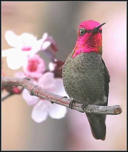 Annas Hummingbird male