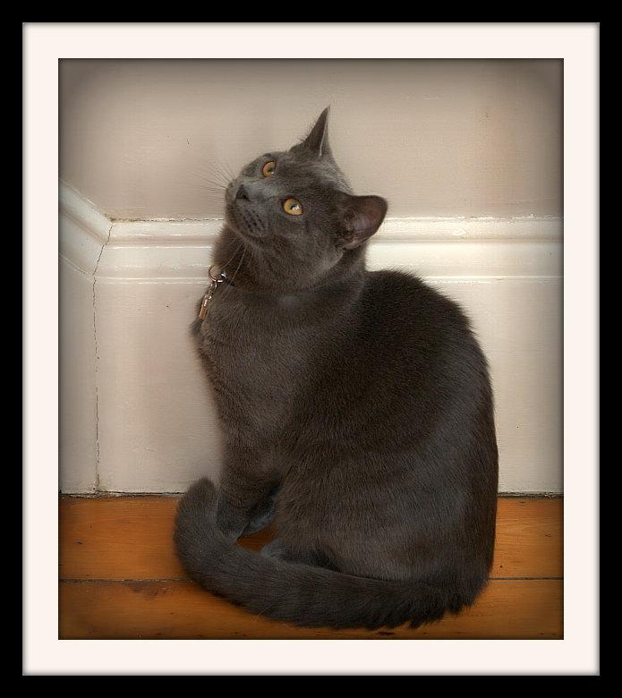 The Gentleman Cat