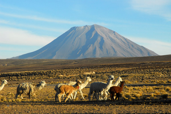 Herd of alpaca with Volcan Misti