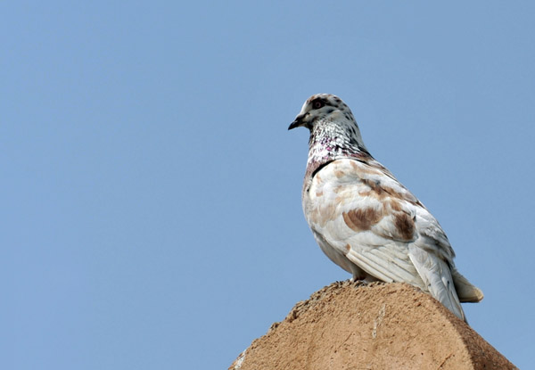 Pigeon in Dibba