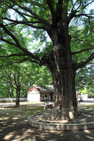 Large tree on the grounds of the Koryo Museum