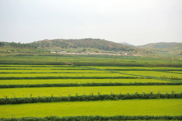 Green fields of rice, South Phyongan Province, North Korea