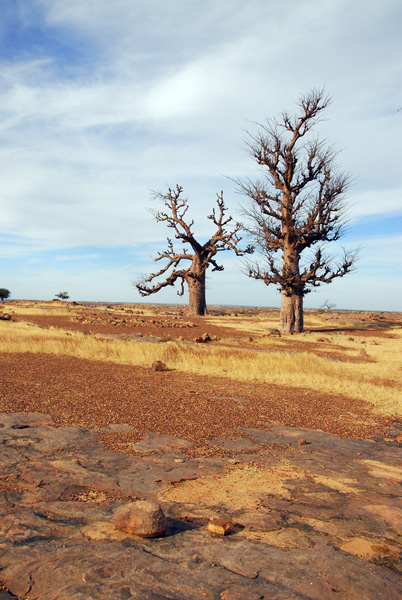 The Two Baobabs