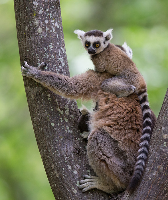 ring-tailed lemur <br> Lemur catta