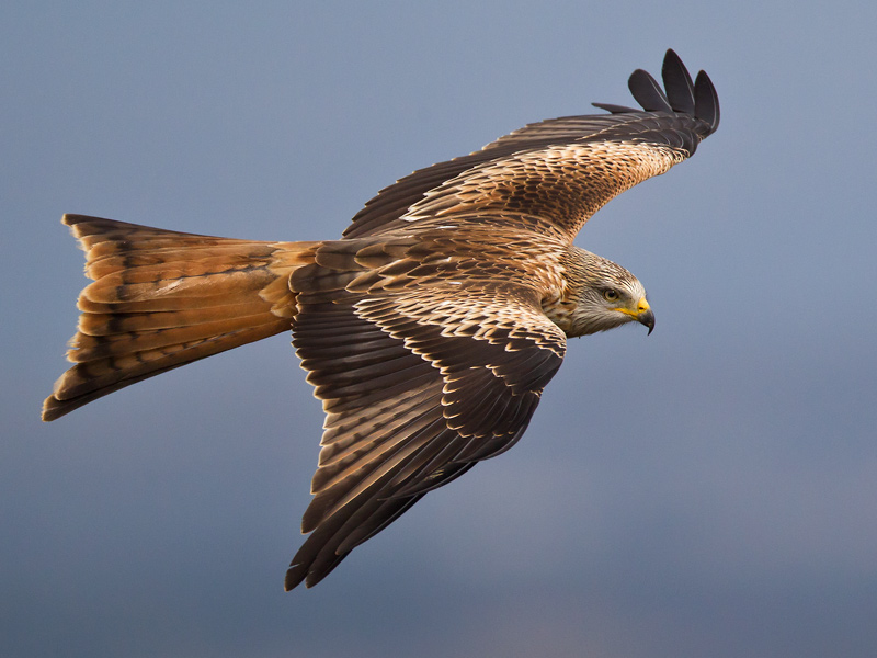 red kite <br/><i>(Milvus milvus)</i>