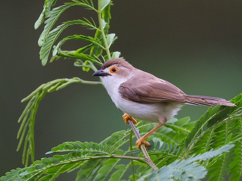 yellow-eyed babbler <br> Chrysomma sinense