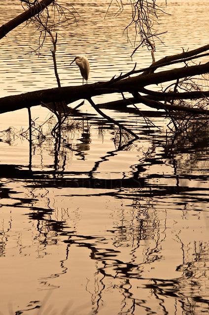 Heron at Narrabeen Lake