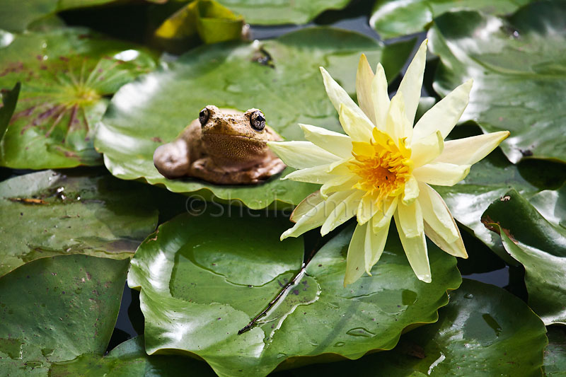Perons frog on waterlily pad