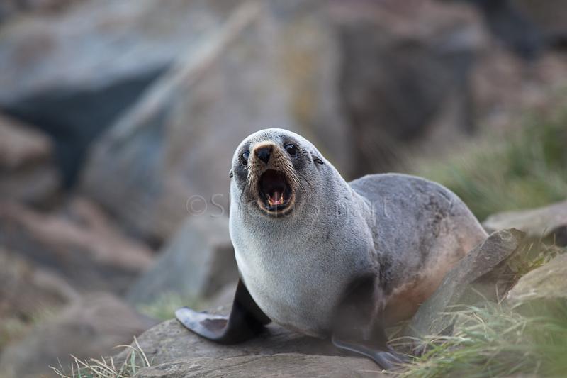 Baby New Zealand fur seal