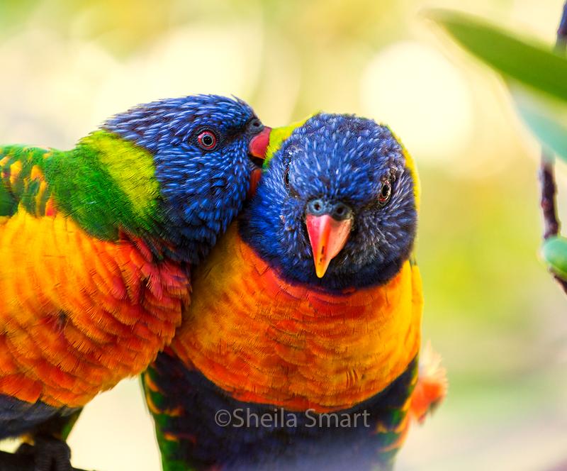 Rainbow lorikeets in love