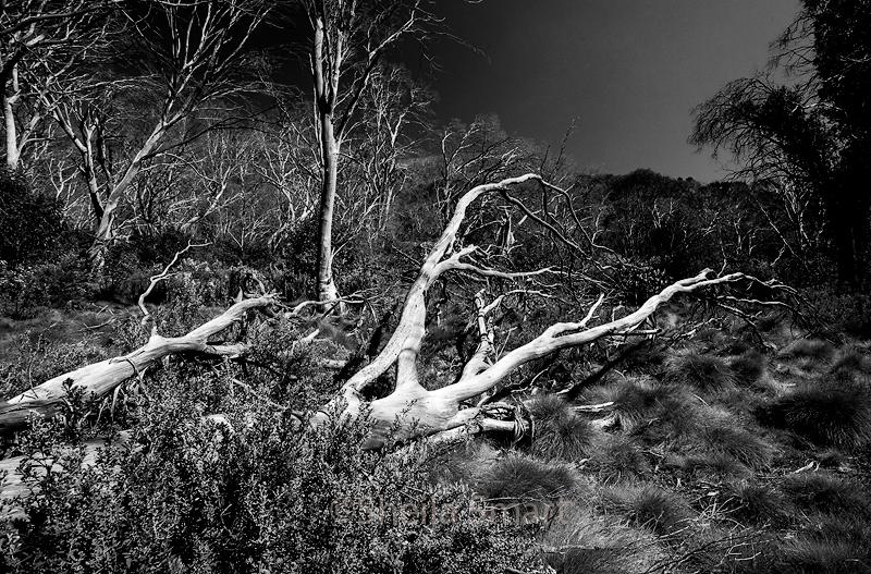 Dead tree in Snowy Mountains
