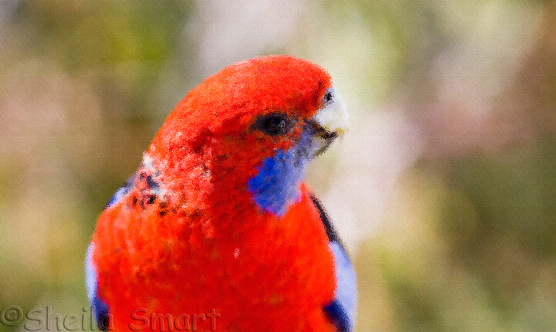 Crimson rosella as a painting