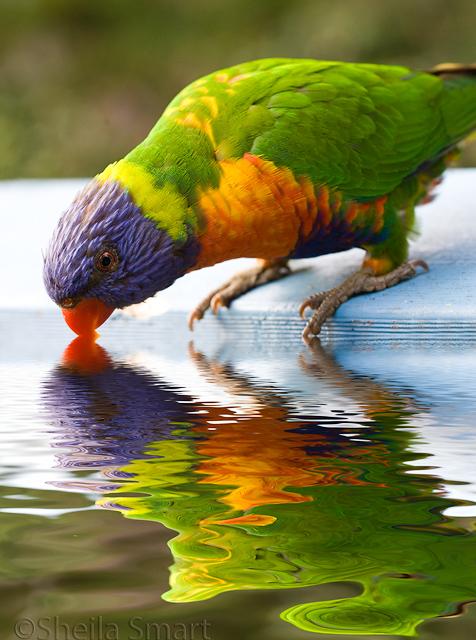 Rainbow Lorikeet reflection