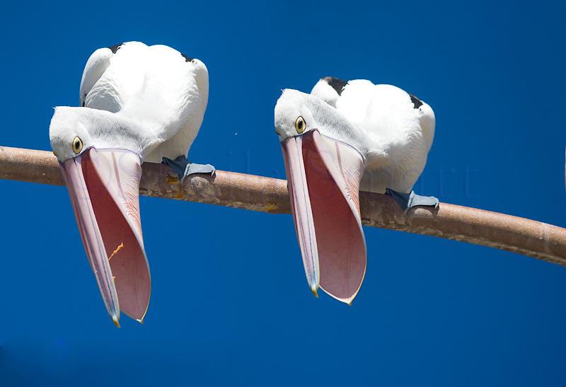Two pelicans with bills open
