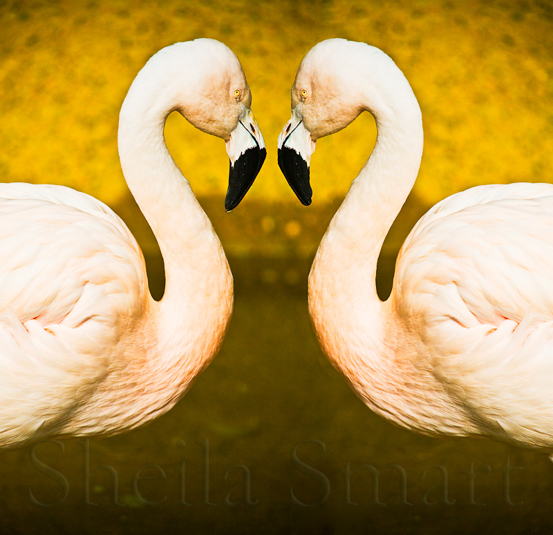 Flamingo mirror image