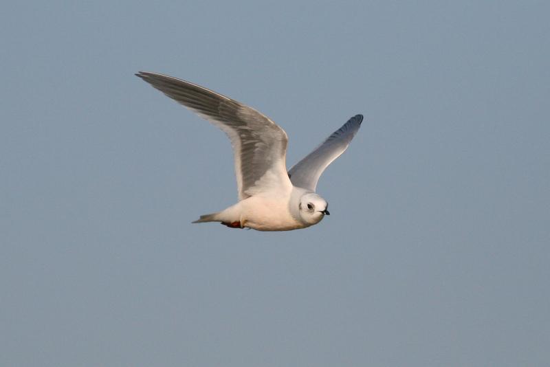 Rosss Gull - Rhodostethia rosea