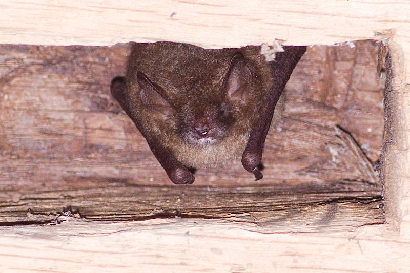 Ingekorven Vleermuis - Myotis emarginatus