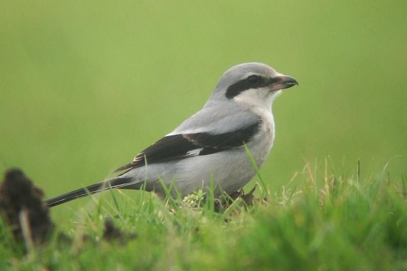 Great Grey Shrike - Lanius excubitor - Klapekster