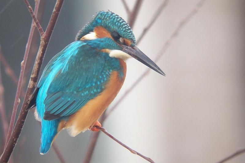 Common Kingfisher - Alcedo atthis - IJsvogel