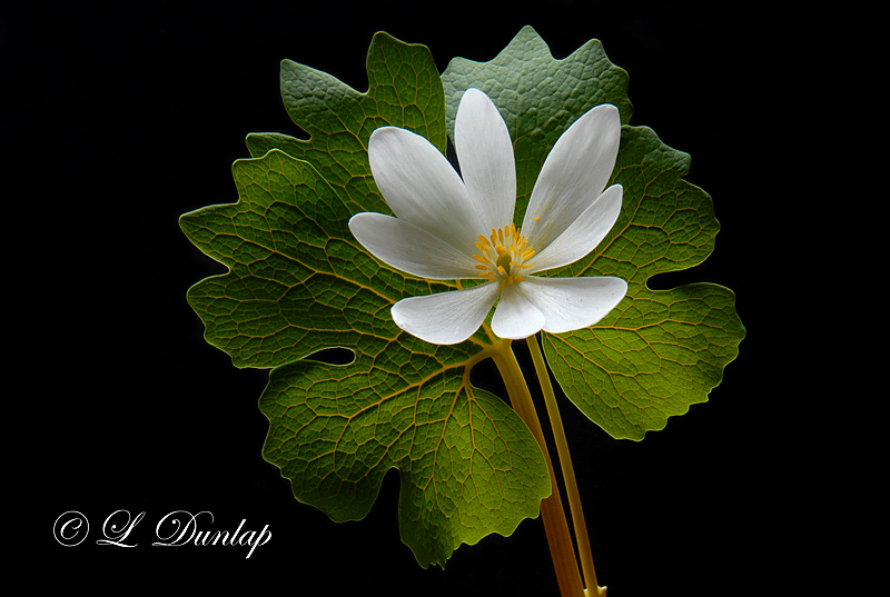 200 - Bloodroot Flower Close-Up