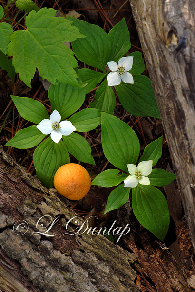 223.1 - Bunchberry (Canadian Dogwood) Triangle