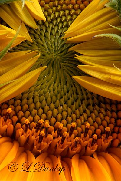 Sunflower Unfolding