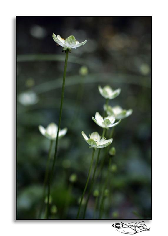 Parnassia asarifolia<br>(Grass-of Parnassus)