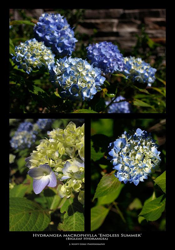 143:366<br>Hydrangea macrophylla