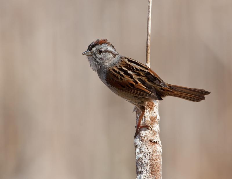 Bruant des marais / Swamp Sparrow