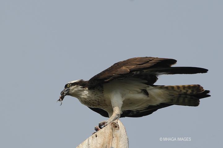 Osprey, Forestry Farm Park, Saskatoon
