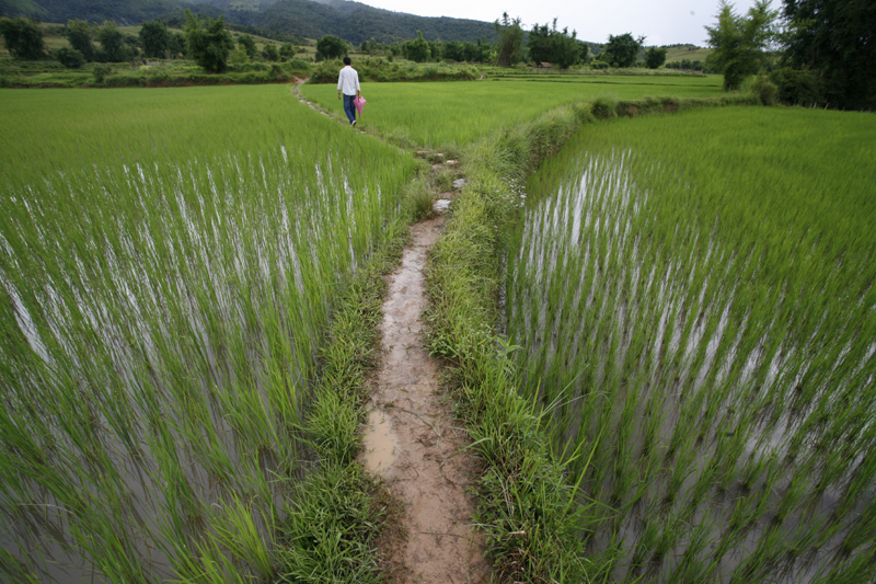 Path through Rice Paddy, Xieng Kouang Prov. Laos
