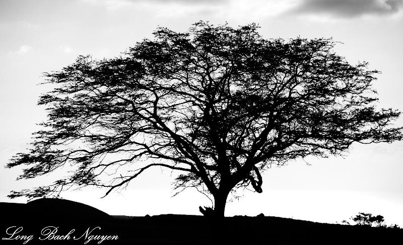 tree, Waikaloa, Big Island, Hawaii