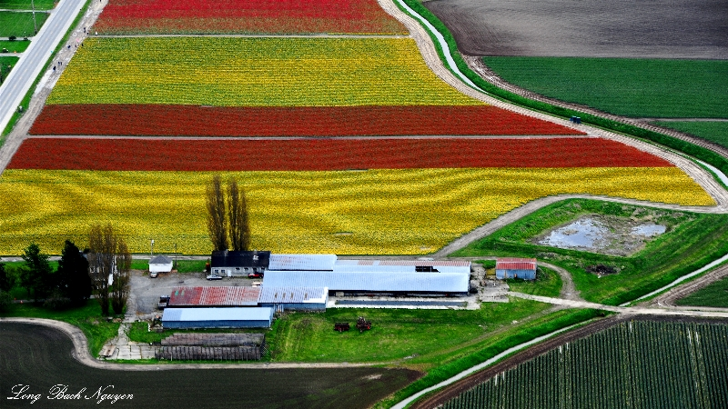 tulip field, Mt Vernon, Washington