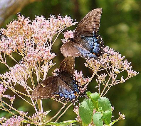 Duo of Tiger Swallowtail Butterflies