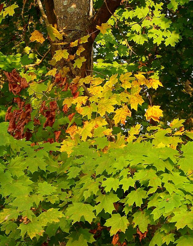 Trio of Maple Leaf Colours